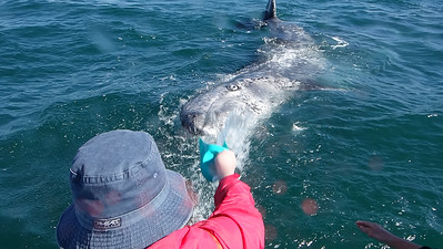 Baby gray whale checking us out