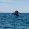 Gray whale tail fluke