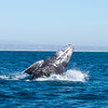 Gray whale breeching