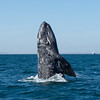 Gray whale spy hopping