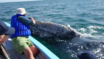 Mother gray whale with barnacles