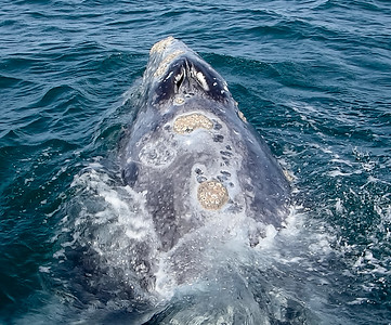 Mother gray whale with barnacles - note double breathing holes