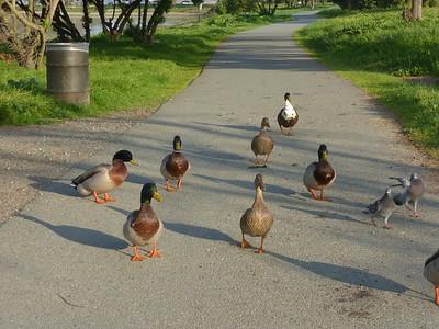 Duck army at Martinez Regional Shoreline Park