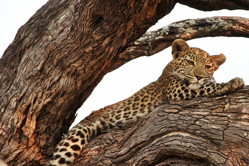 One of two twoin leopard cubs hanging out