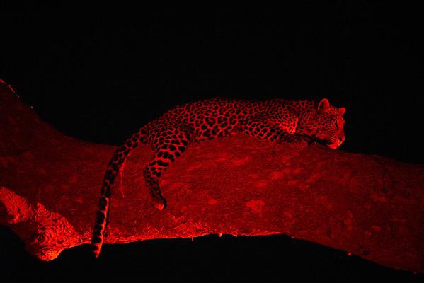 Big Cats Africa 2013