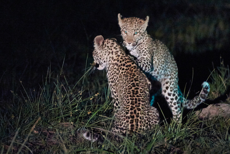 Young leopards