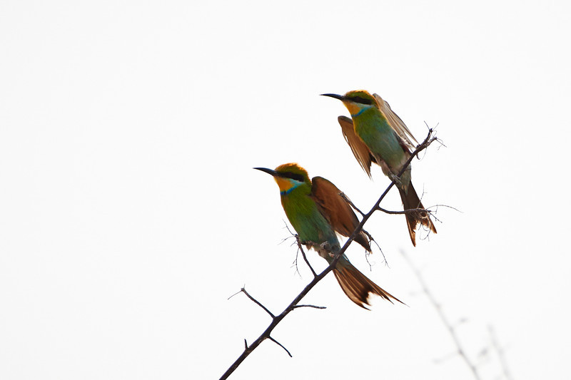 Swallow-tailed Bee-eaters