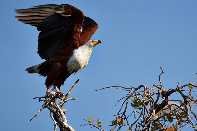 African Fish-eagle (ptygial tag on wing)