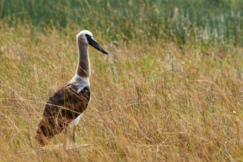 Saddle-billed Stork juvenile