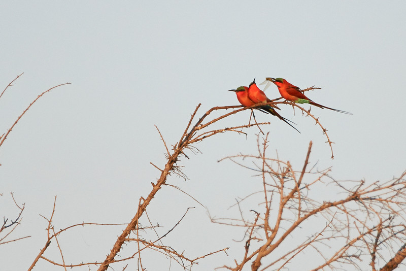 Carmine Bee-eaters and dragon fly
