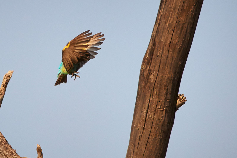 Mayer's Parrot Landing