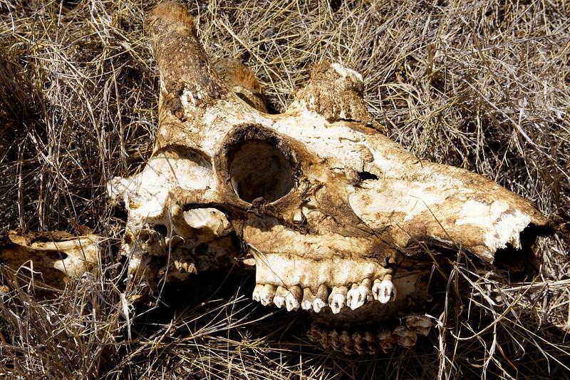 Dust to dust - a Giraffe's skull.