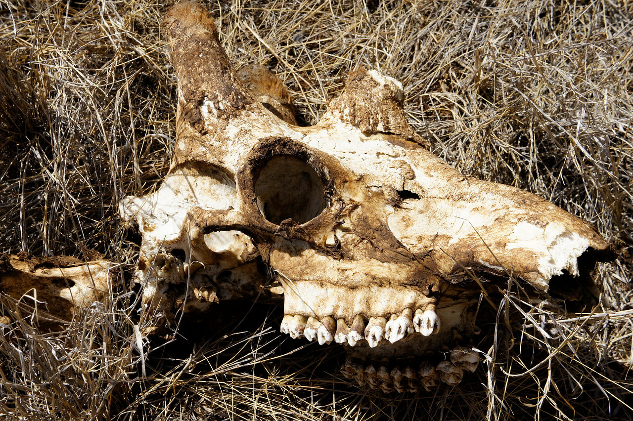 Dust to dust - a Giraffe's skull.