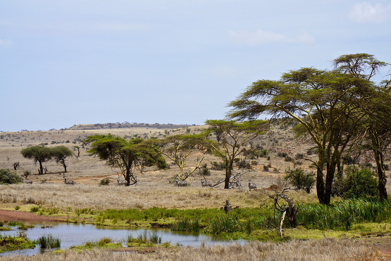 Zebra on the Savanah