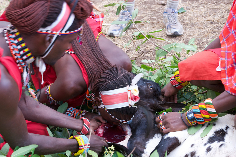 Blood is a staple of the Masai diet - while more commonly taken from living cattle, the goat contributes as well.
