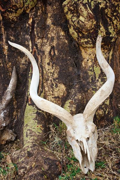 Fever tree and Kudu skull