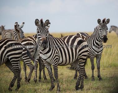 Masai Mara_20150809_0411_