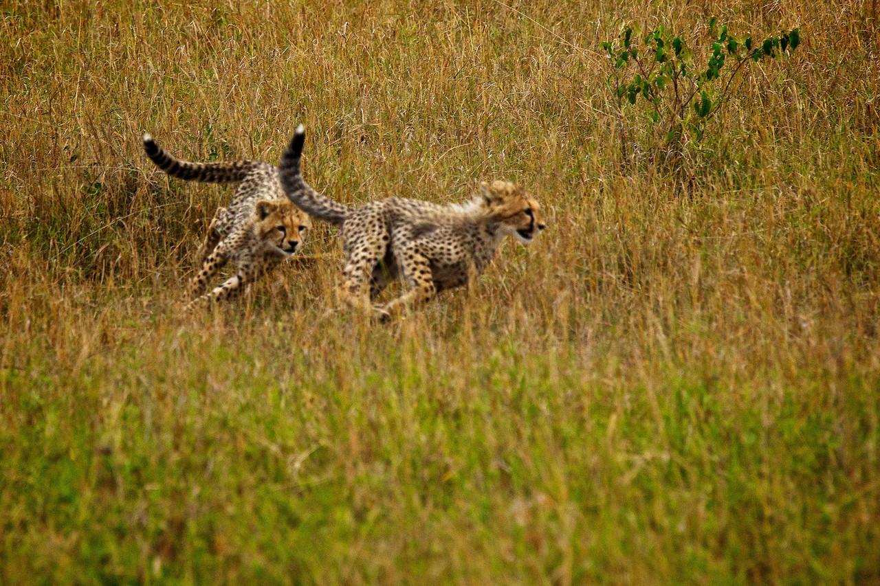 Cheetah Cubs at Play 2