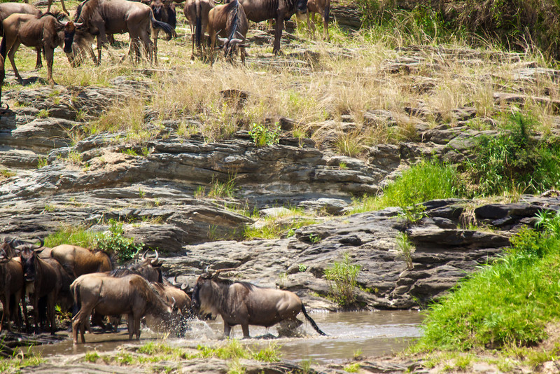 Wildebeest in the Olare Orok
