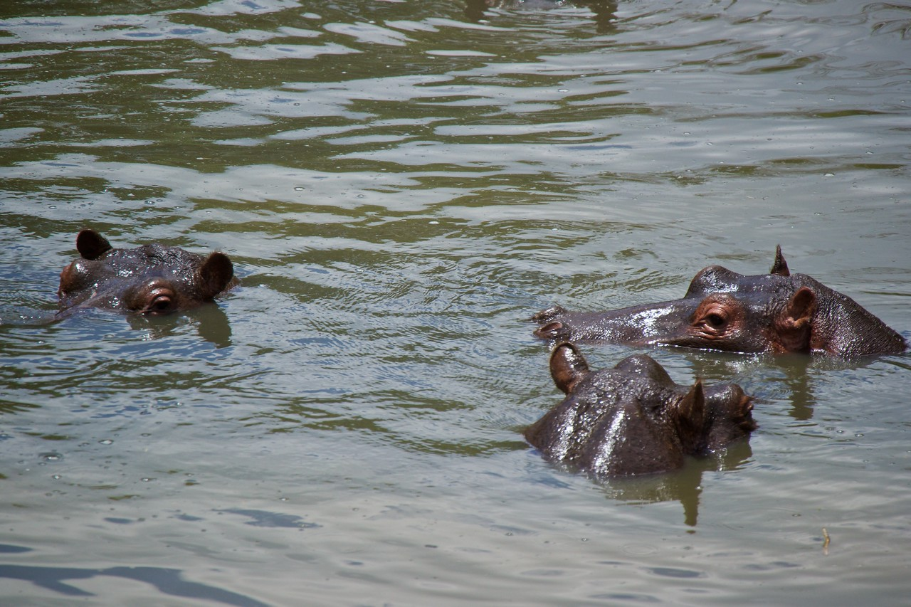Hippos in the Talek River