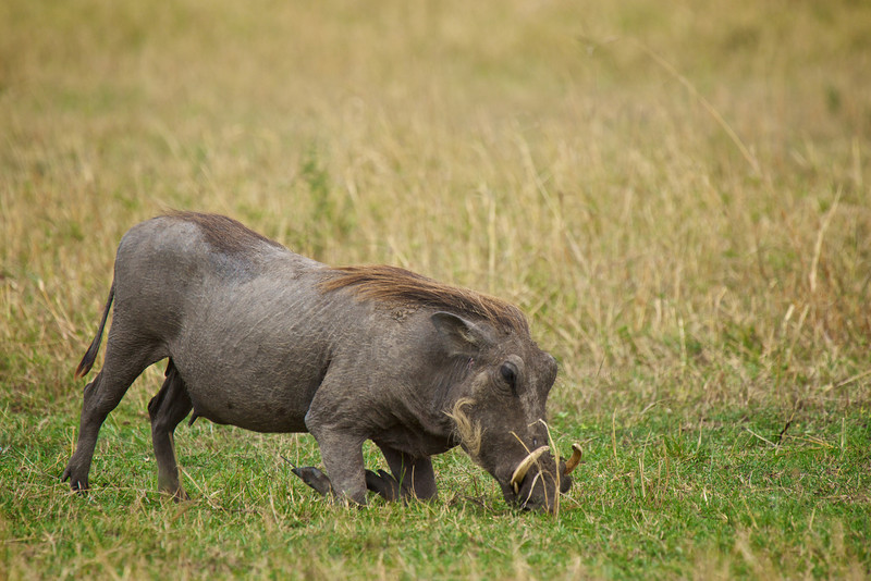Warthog feeding (they must kneel to feed.)