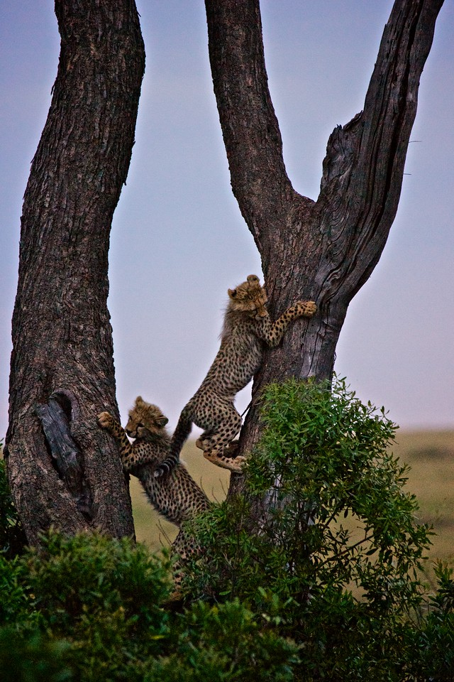 Cheetah cubs in a tree
