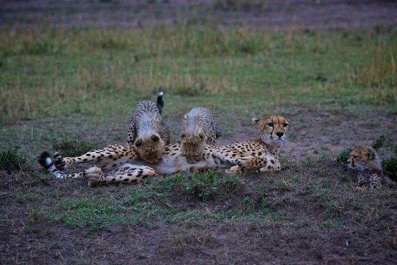Suckling Cheetah cubs