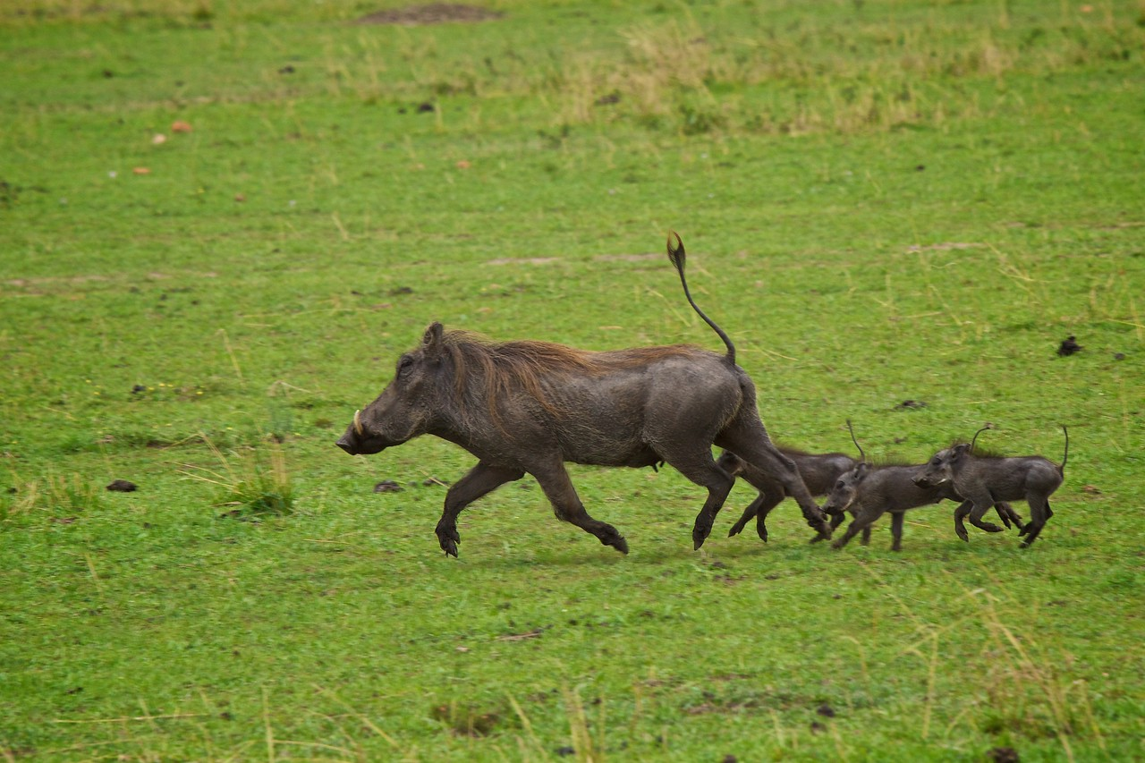 Warthog family on the move