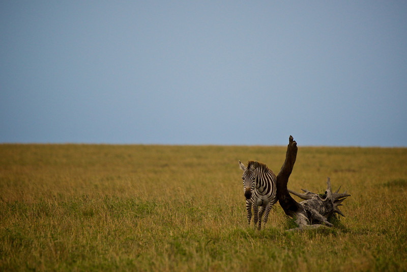 Zebra at massage pole