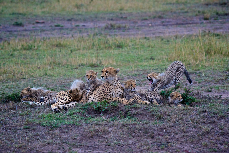 Mother Cheetah with 6 cubs (a rarity.)