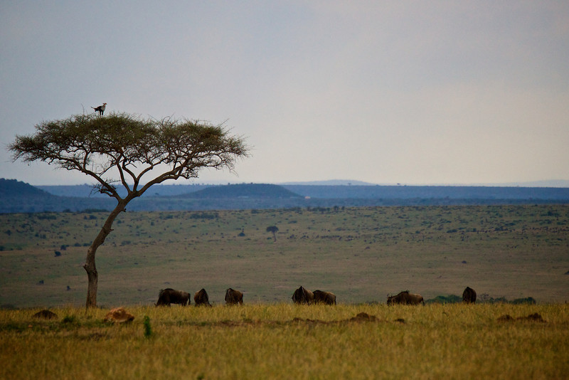 Secretary bird on acacia tree overlooking wildebeest and the Mara.