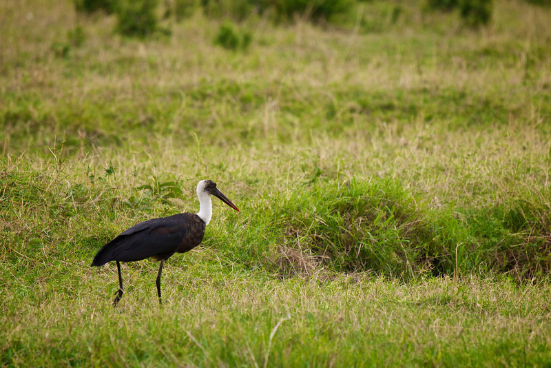 Wolly Necked Stork.
