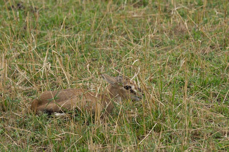 newborn Thomson's gazelle motionless in the grass.