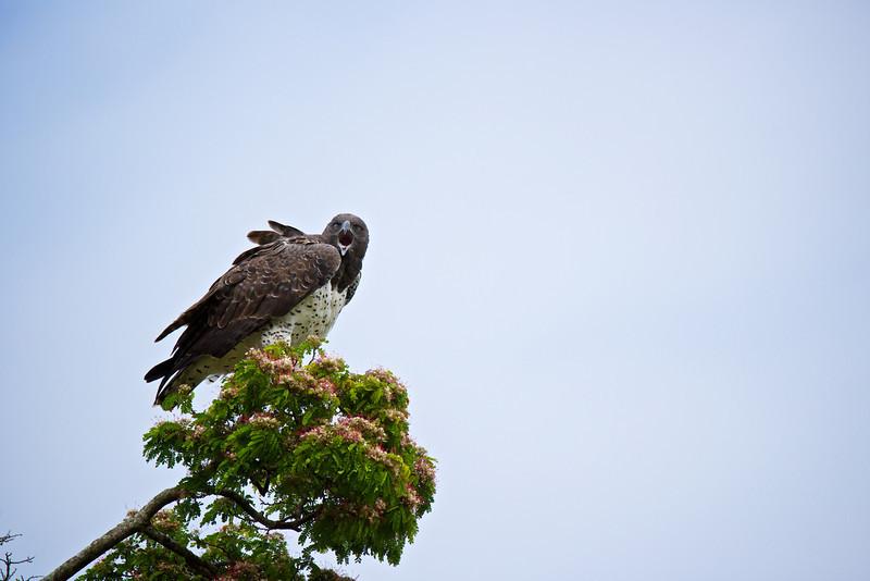 Martial Eagle (the largest eagle.)