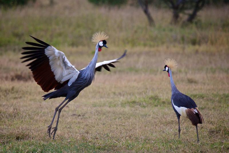 Crested Crane #8