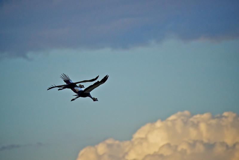 Crested Crane #9