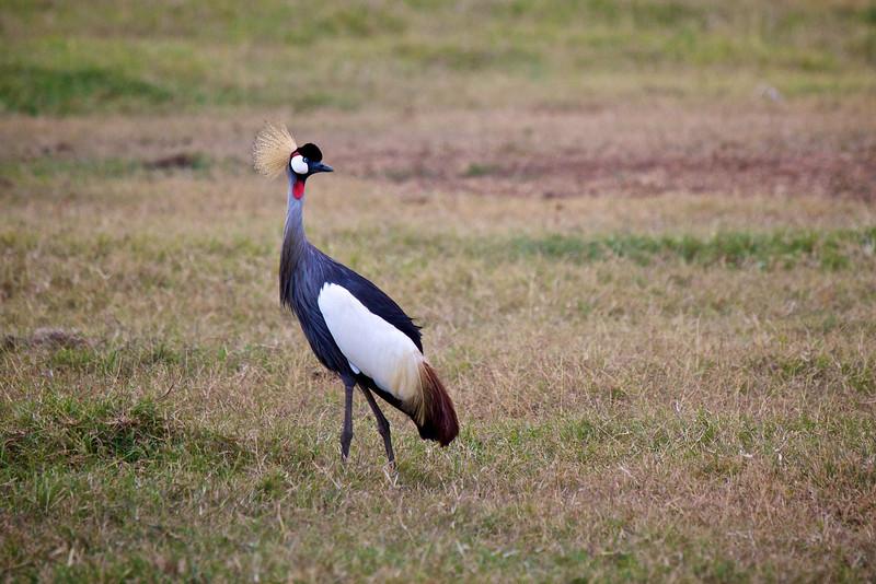 Crested Crane #4