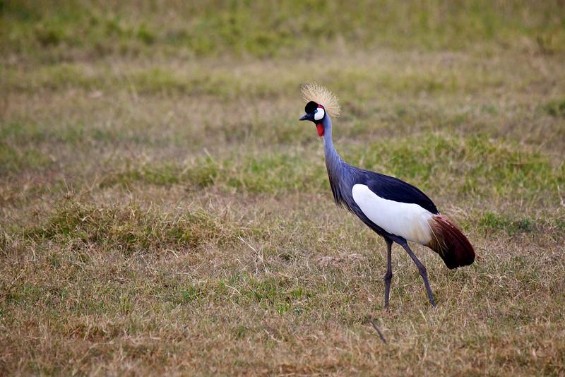 Crested Crane #2