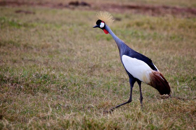 Crested Crane # 3
