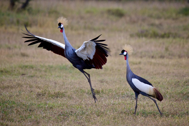 Crested Crane #5