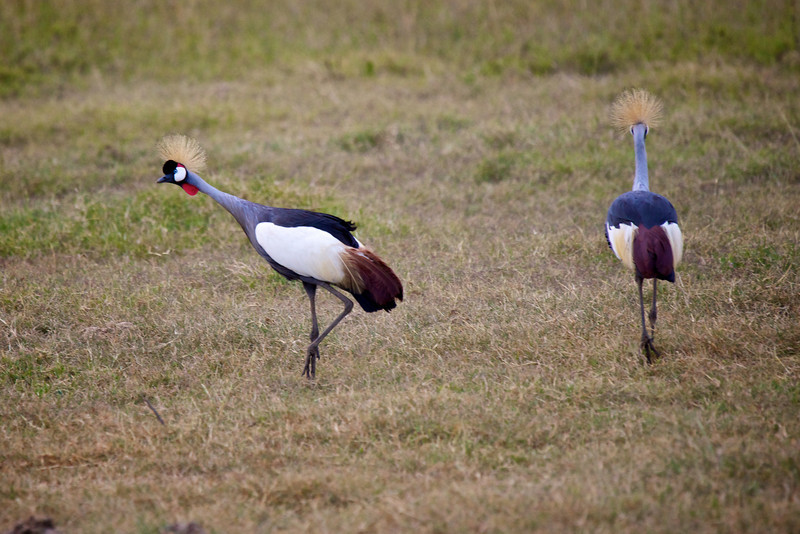 Crested Crane #1
