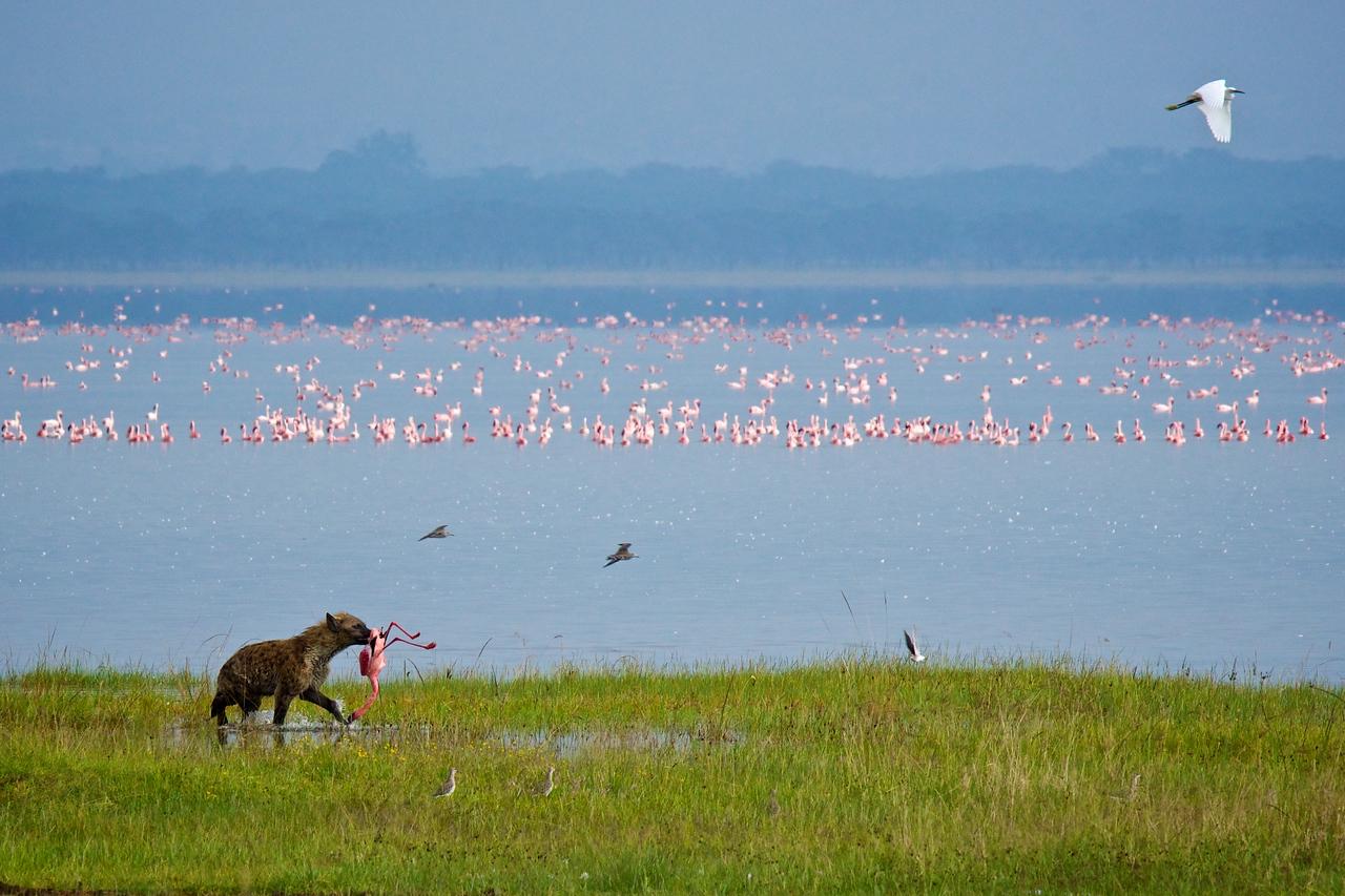 Hyena with Flamingo
