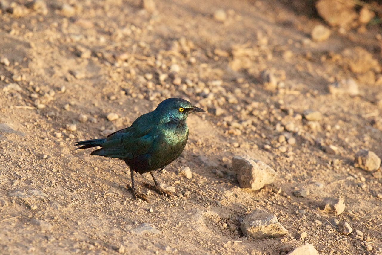 Ruppell's Glossy Starling