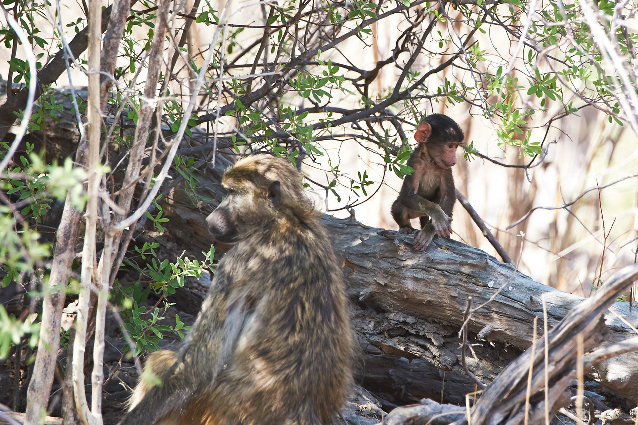 Baboon parent and child