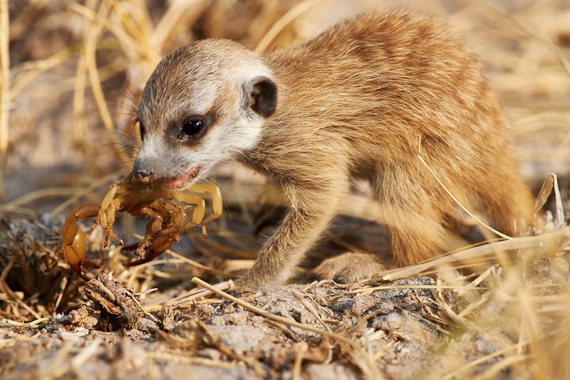 Meerkat pup and scorpion
