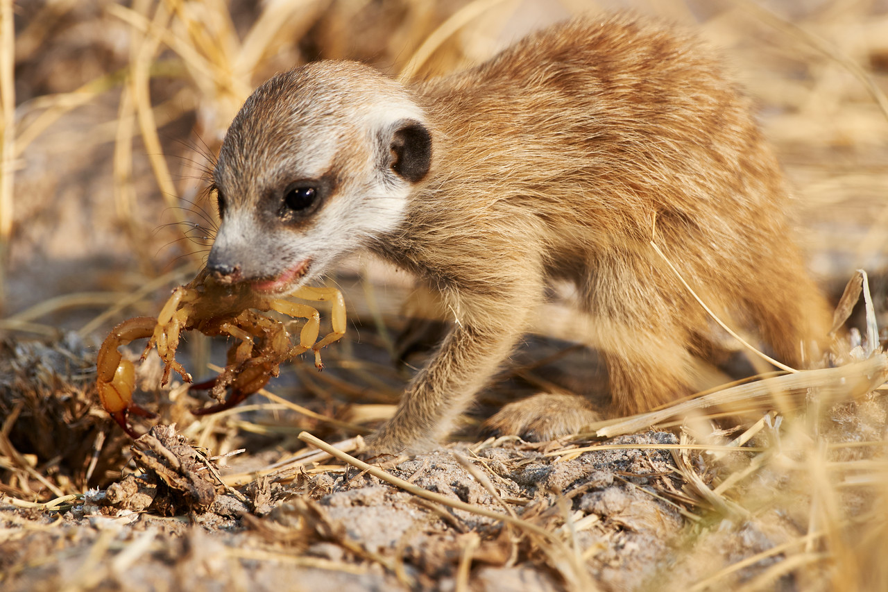 Meerkat pup and scorpion