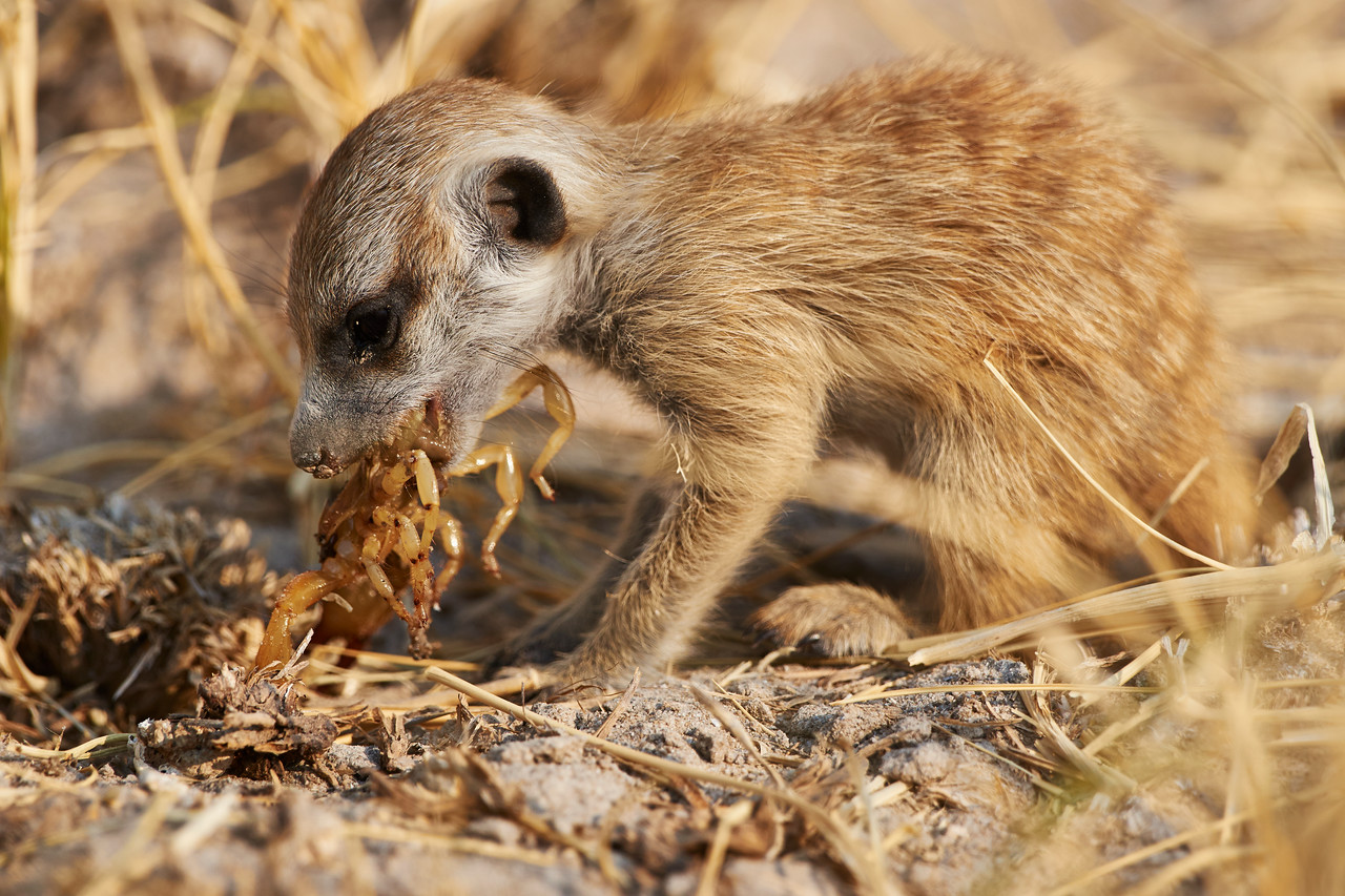 Meerkat pup lunch