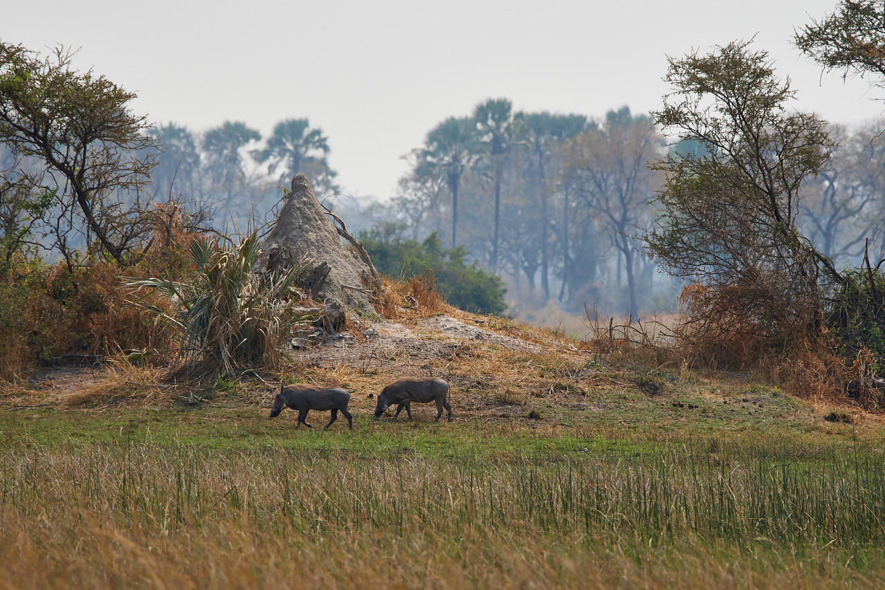 Warthogs and Termite mound