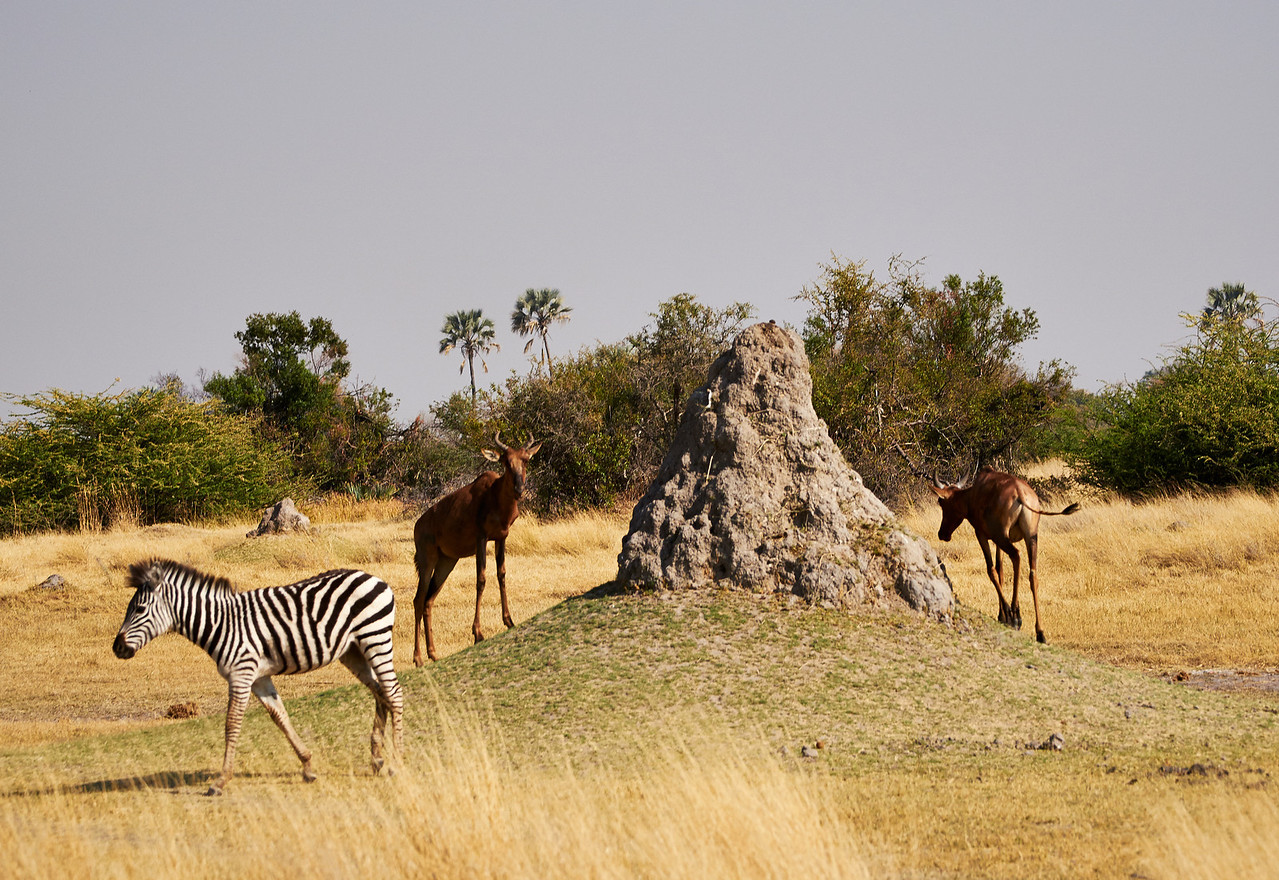 Zebra and Antelope near Termite mound