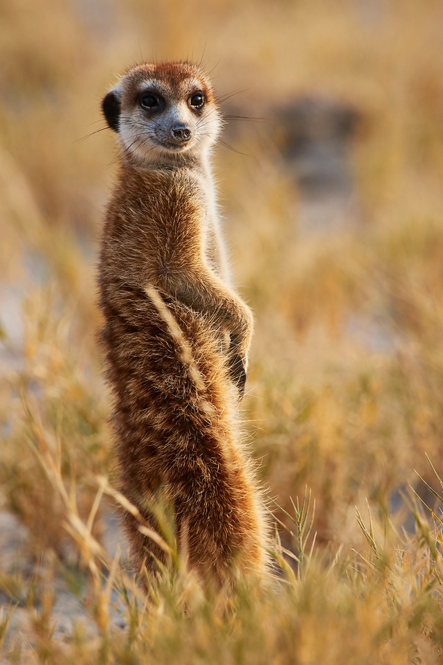 Meerkat watchfulness